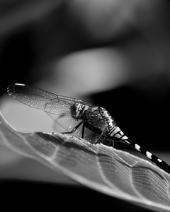 Dragonfly in profile